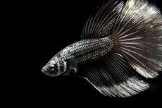 Mengilap di Awal Pandemi, Kini Bisnis Ikan Cupang Mulai Redup