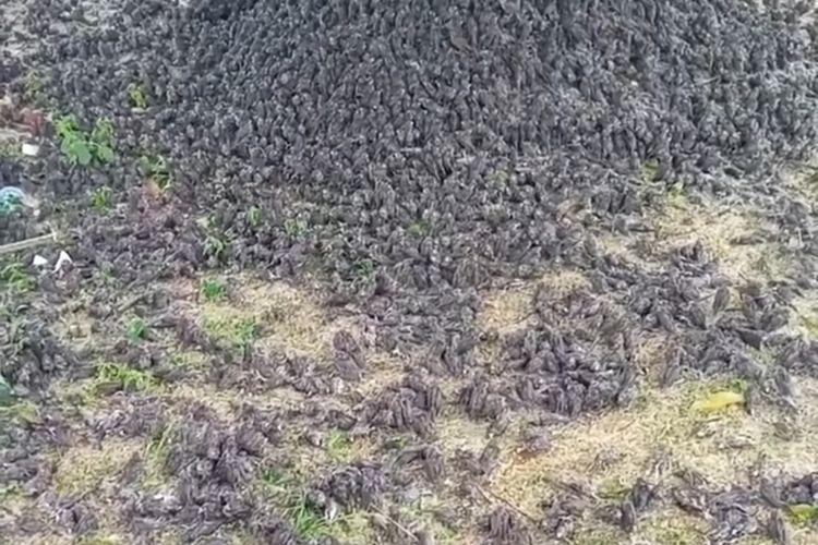 Ratusan burung pipit jatuh berhamburan ke tanah viral di media sosial, Kamis (9/9/2021).