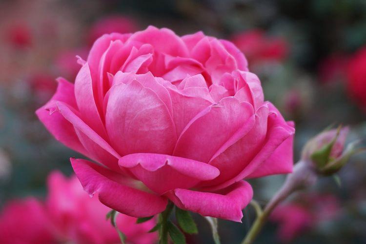 Ilustrasi bunga mawar.