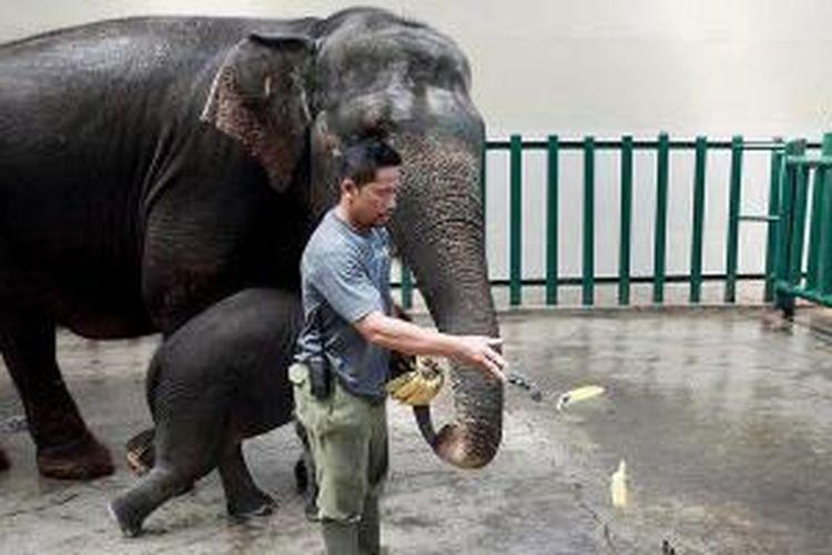 Indah bermain dengan anaknya, Raja, yang baru berusia dua bulan di ruang pembiakan gajah di kompleks Taman Safari Indonesia, Cisarua, Kabupaten Bogor, Jawa Barat, Kamis (5/12/2013).