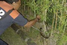 Piton, Kobra, hingga Biawak Masuk Permukiman Warga di Denpasar