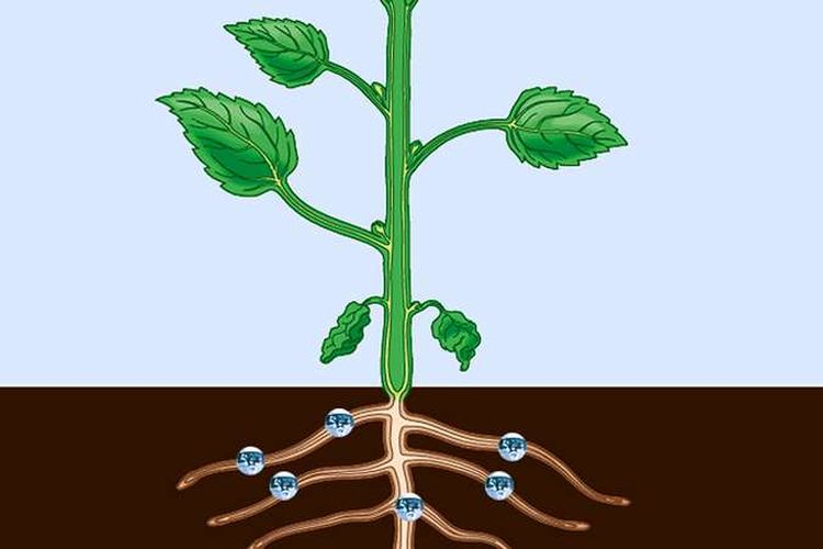 Sistem pengangkutan pada tumbuhan