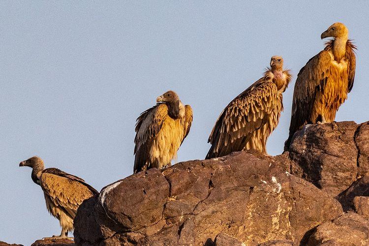 Ilustrasi kawanan burung bangkai atau burung nasar, spesies yang penting bagi ekosistem di Bumi.
