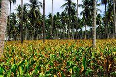 Kementan Dorong Ekspor Jagung dari Sulawesi Tengah