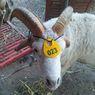 Unik, Domba Kurban Bertanduk 4 di Gresik, Bobotnya Mencapai 60 Kg