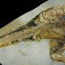 Peneliti Ungkap Fosil Kloaka, Beri Petunjuk Bagaimana Dinosaurus Kawin