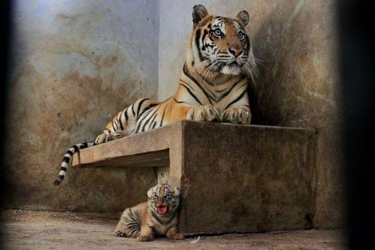 Bayi harimau Lusi (bawah) saat masih hidup.