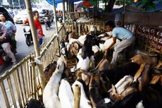 Jelang Idul Adha, Jakarta Kedatangan Puluhan Ribu Hewan Kurban