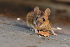 5 Cara Membasmi Tikus di Rumah Tanpa Membunuhnya
