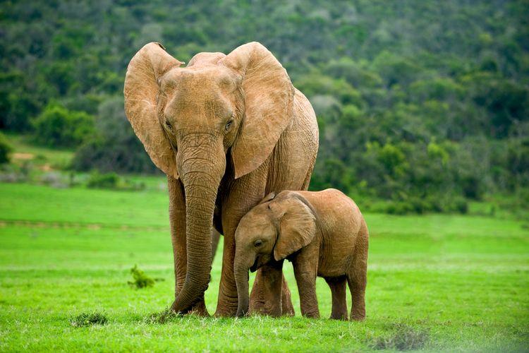 Ilustrasi induk gajah dan anaknya