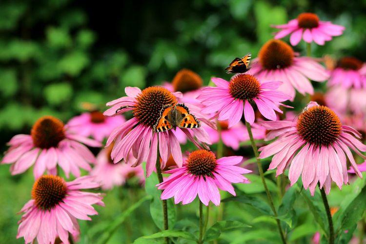 Echinacea, salah satu obat herbal kanker payudara