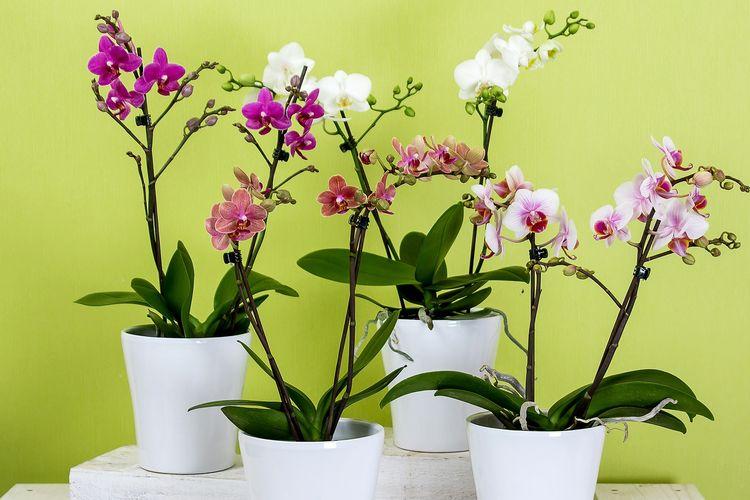 Ilustrasi tanaman bunga anggrek di dalam ruangan.