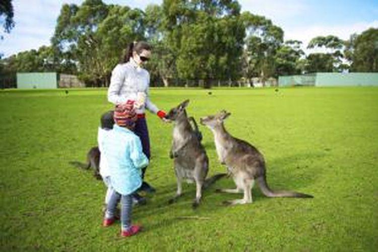 Satwa liar asli dan pemandangan menakjubkan di Pulau Kanguru atau Kangaroo Island sering membuat banyak wisatawan penasaran. Tak hanya kanguru yang dapat ditemui. Koala, walabi, penguin, ekidna, dan berbagai burung juga hidup di sini.