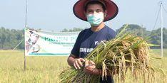 Di Madiun, Sawah Demplot RBDD Panen Padi Organik dengan Kualitas Sangat Baik