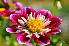 8 Bunga yang Tidak Mudah Mati, Cocok untuk Pemula