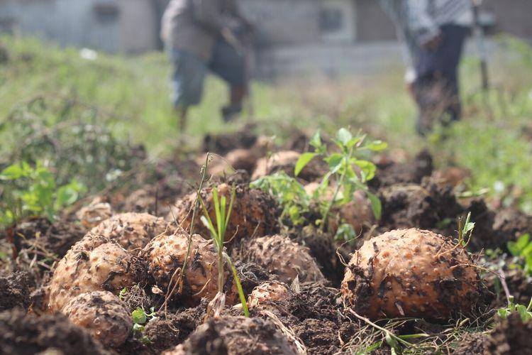 Kegiatan panen perdana tanaman porang yang dilakukan petani Cianjur, Jawa Barat. Petani mengaku untung besar karena nilai jualnya yang tinggi di pasaran saat ini.