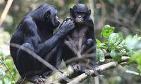 Kamasutra Satwa: Hewan Bonobo Lakukan Hubungan Sesama Jenis