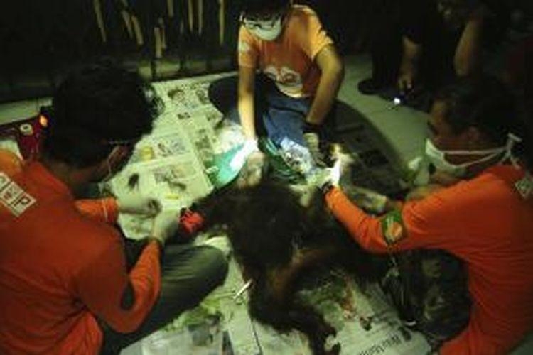 Orangutan yang diberi nama May sedang dirawat tim dokter hewan dari COP.