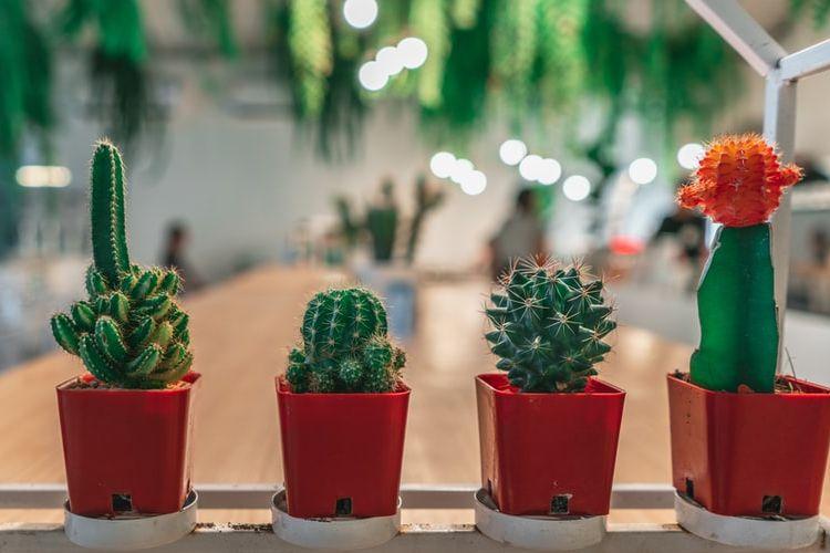 Ilustrasi tanaman kaktus
