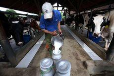 Suka Minum Susu Sapi Mentah? Kenali Dulu Kandungan di Dalamnya