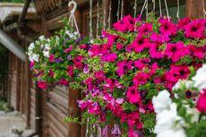 6 Jenis Tanaman Hias Bunga yang Cocok Digantung