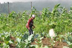 Petani Tembakau di Klaten dan Temanggung Resah