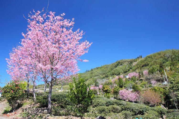 Pemandangan bunga sakura di Gunung Alishan, Taiwan.
