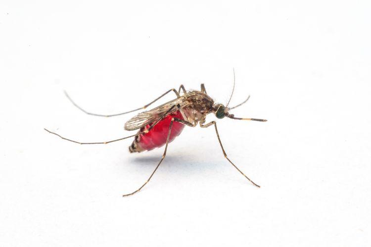Ilustrasi nyamuk, mosquito-borne disease