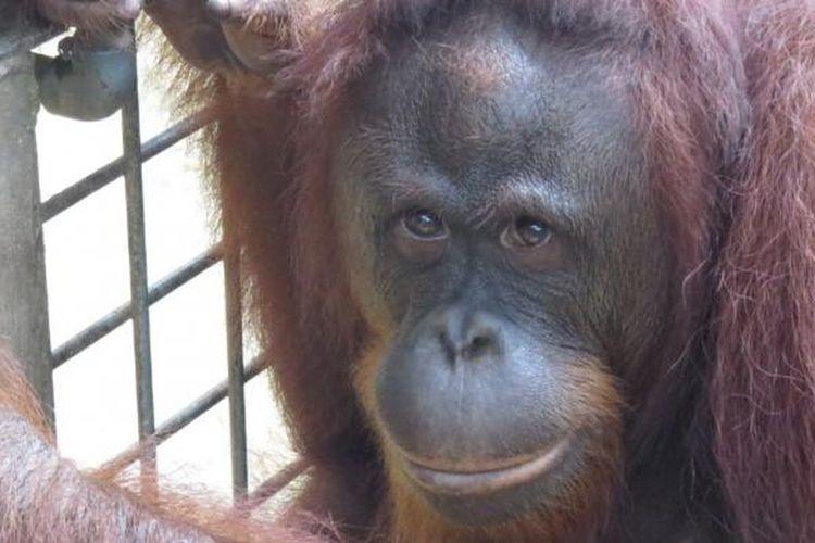 Yayasan BOS kembali melepasliarkan tujuh orangutan di Hutan Kehje Sewen Kutai Timur. (Gusti Nara / KOMPAS.com)