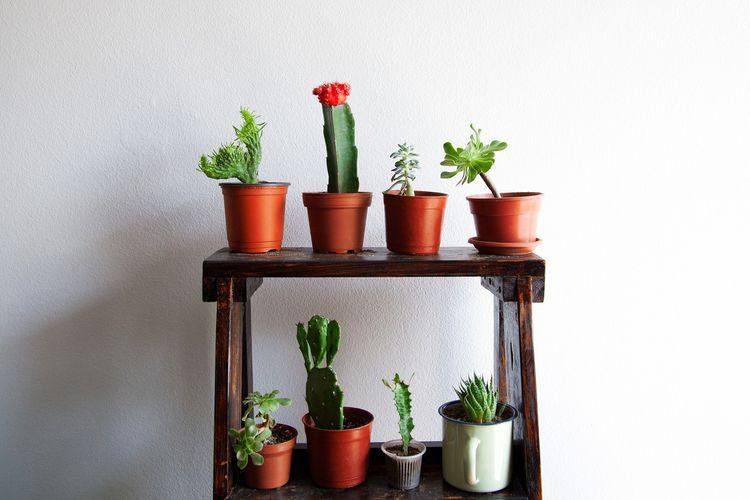 Ilustrasi pot-pot tanaman kaktus.