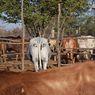 Lindungi Ternak dari Predator, Ahli Bikin Gambar Mata di Pantat Sapi