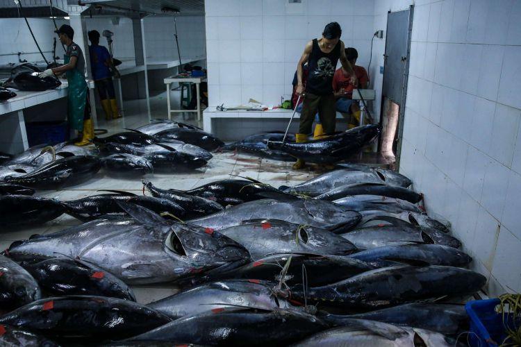 Pekerja melakukan timbangan ikan tuna di Pelabuhan Muara Baru, Penjaringan, Jakarta Utara, Selasa (4/12/2018). Volume ekspor tuna Indonesia seperti dikutip dari data Kementerian Kelautan dan Perikanan, mencapai 198.131 ton dengan nilai 659,99 juta dollar AS pada tahun 2017.