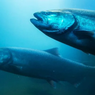 China Jauhi Ikan Salmon karena Khawatir Virus Corona, Kenapa?