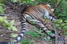 Harimau Sumatera Diduga Mati Keracunan Seusai Memangsa Kambing