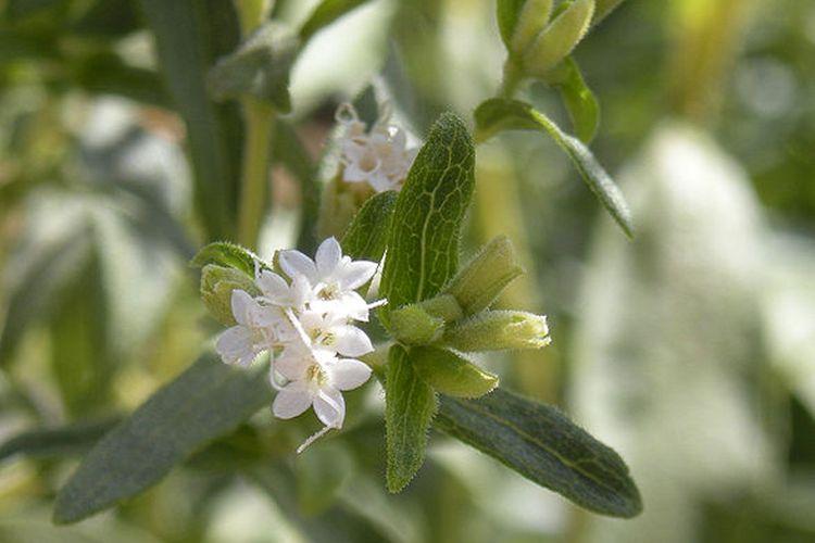 Tanaman Stevia rebaudiana