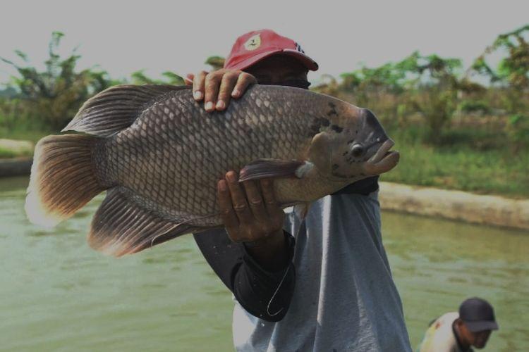BIMA, hibrida gurami yang dikembangkan oleh adan Riset dan Sumber Daya Manusia Kelautan dan Perikanan (BRSDM) melalui Balai Riset Pemuliaan Ikan (BRPI) di Kabupaten Limapuluh Kota, Sumatera Barat.