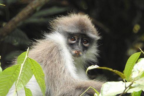 3 Monyet Surili Berkeliaran di Perumahan Warga, Ahli Jelaskan