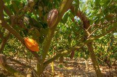 Pemerintah Pacu Hilirisasi Industri Pengolahan Kakao