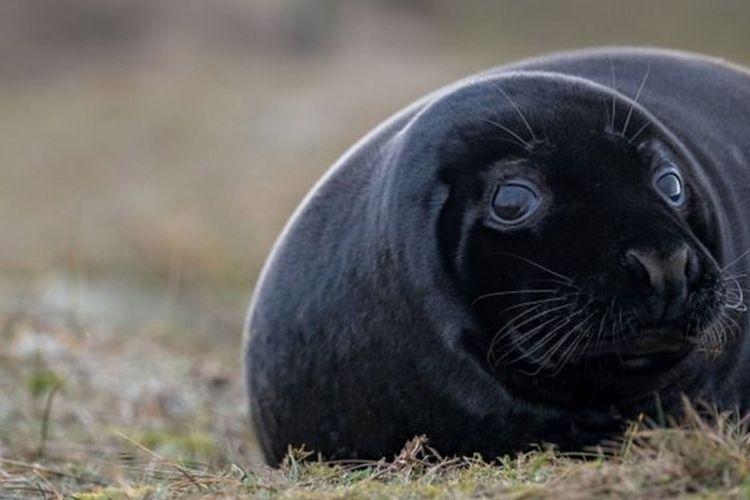 Anak anjing laut berwarna hitam langka ditemukan karena biasanya terlahir dengan bulu putih.