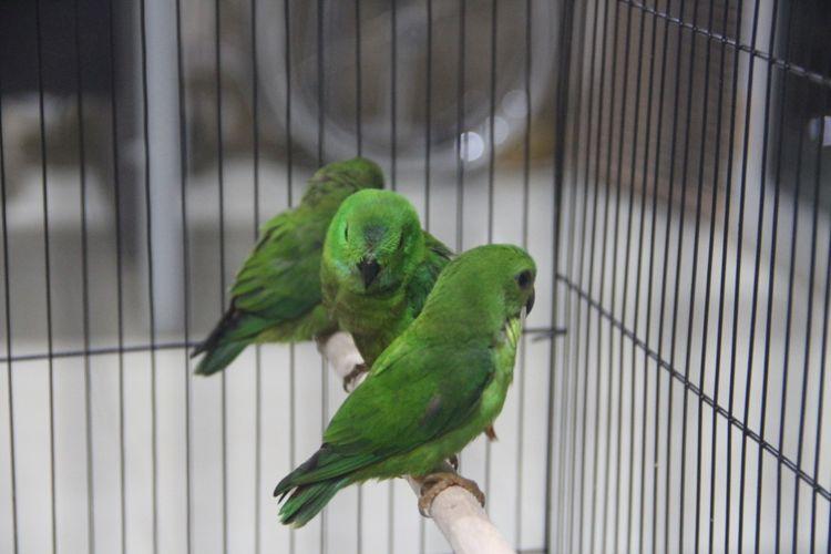 Ciri Ciri Burung Serindit Jantan Dan Betina