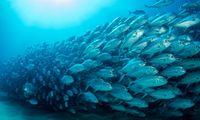 Pemanasan Global, Lautan Menghangat Bikin Ikan Sulit Bernapas, Kok Bisa?