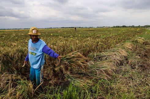 87 Hektar Sawah di Sungai Penuh Gagal Panen, Petani Diminta Gunakan Asuransi