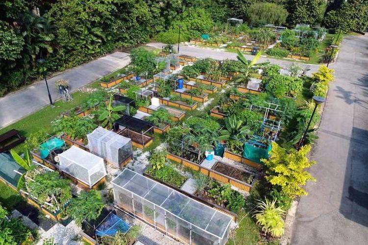 Kebun peruntukan di Singapura yang bisa diswa oleh warga untuk bercocok tanam.