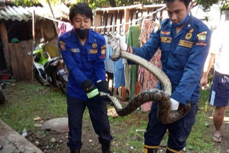 TIM URC UPT Damkar Tanjungsari evakuasi ular phiton sepanjang 2 meter yang masuk ke rumah warga di Jatimangor, Sumedang, Jawa Barat, Kamis (23/4/2020) pagi.