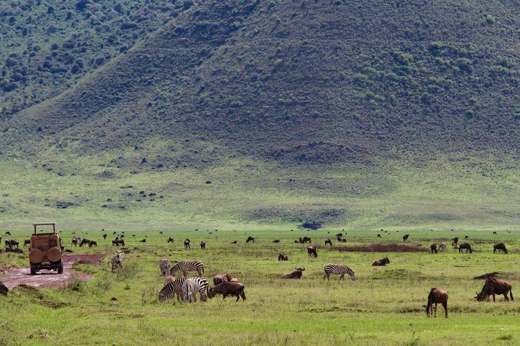 Keanekaragaman hewan di safari di Kawah Ngorongoro selama musim hujan di Tanzania.