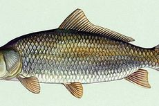 Lahir Sebelum Perang Dunia I, Inilah Ikan Air Tawar Tertua di Dunia