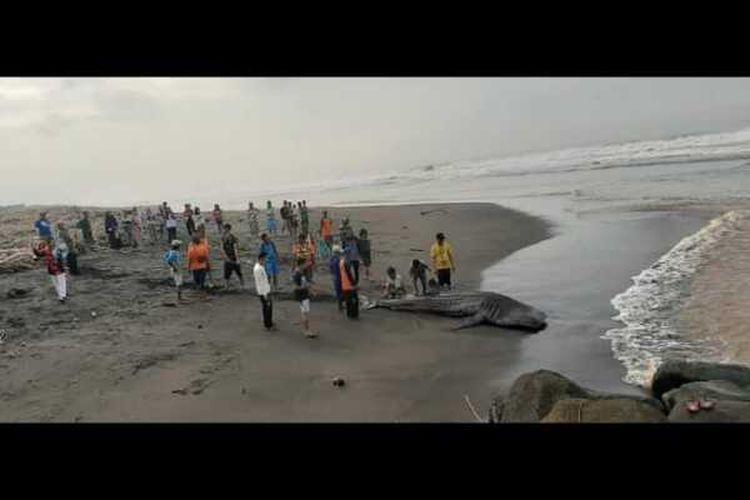 Puluhan orang warga sekitar Congot mengevakuasi bangkai paus ke pinggir pantai beramai-ramai.