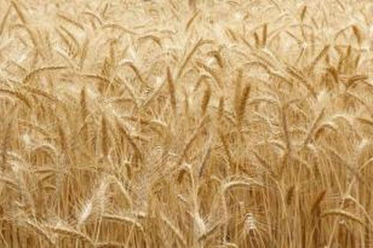 Ilustrasi: ladang gandum