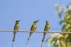 Mengapa Burung tidak Tersengat Listrik di Kabel Listrik?