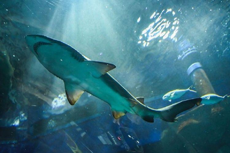 Intersex shark ditemukan di Taiwan